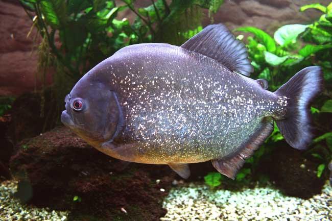 Piranhas Rainforest Fish