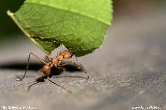 Rainforest Animals Leafcutter Ant