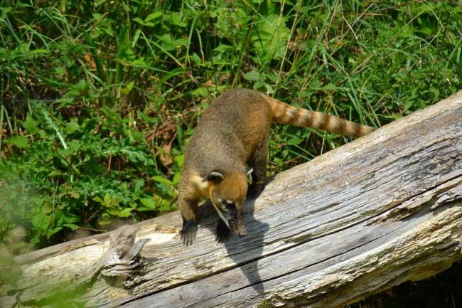Rainforest-Animals-List-Coati