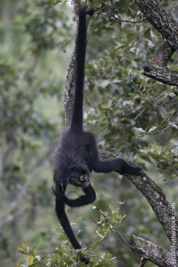 Spider-Monkey-Rainforest-Animals-List