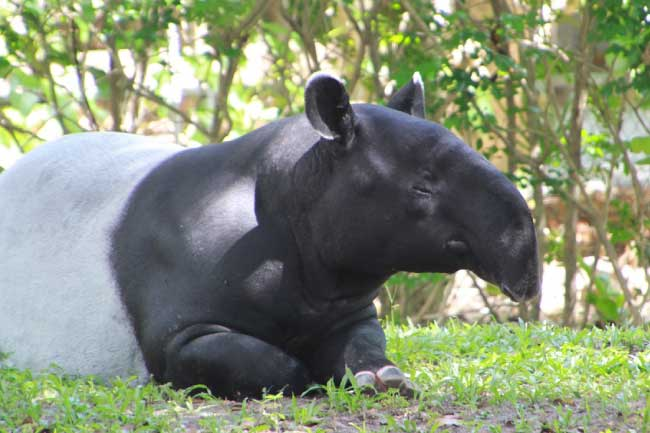 Tapir Facts, Pictures & Video: Learn About This Rare