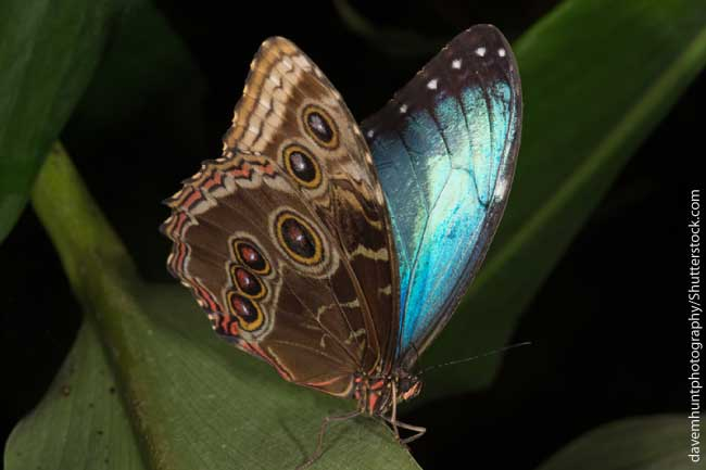 Underside of blue morpho butterfly wings