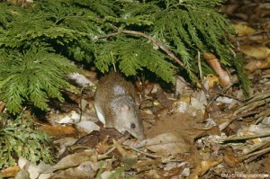 Australian Animals List Bandicoot
