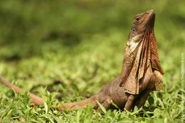 List Of Australian Animals Frill-necked Lizard