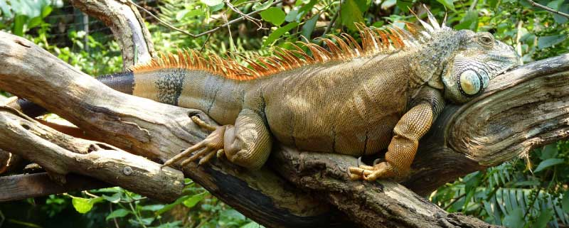 Iguana Rainforest & Facts About Iguanas: Information Pictures u0026 Video