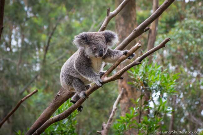 Koala Australia Animal