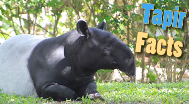 Tapir Facts & Information