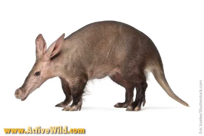 African Animals List Aardvark
