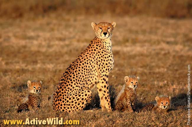 African Animals List Cheetah