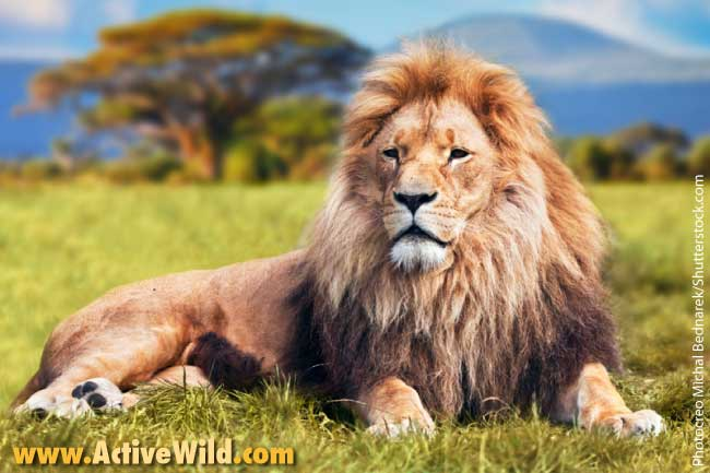 List Of African Animals Lion