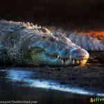 Nile Crocodile Classification