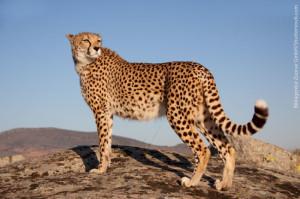 Online zoo: Cheetah