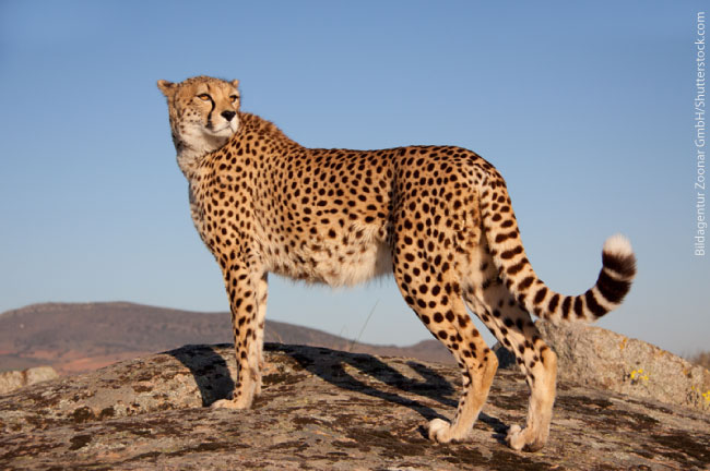 Cheetah Fastest Animal On Land