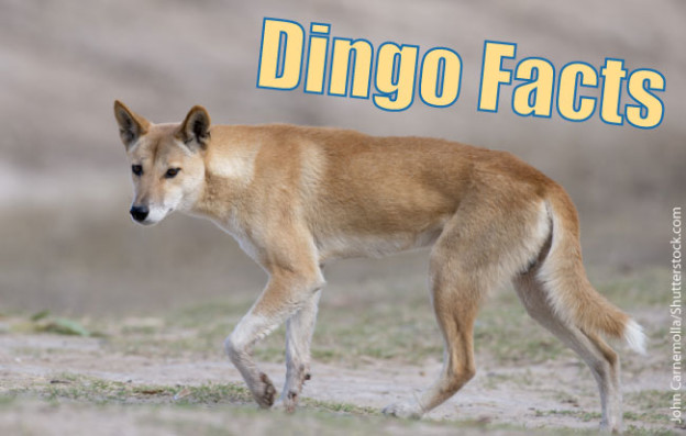 Dingo Facts Info Amp Pictures Life Habitat Diet Threats