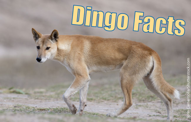 dingo the life of animals dog breeds picture