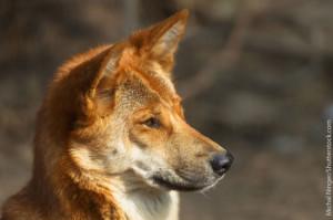 Dingo Head