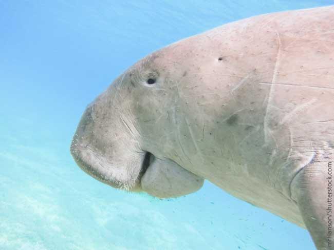 Dugong Swimming