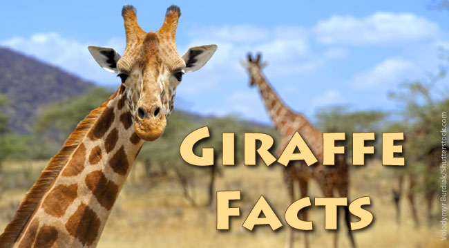 DIY Halloween Costumes Giraffe  Fall  Pinterest  DIY