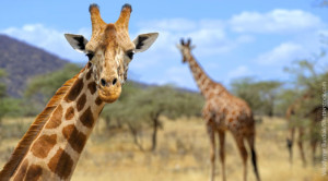 Close up of giraffe head