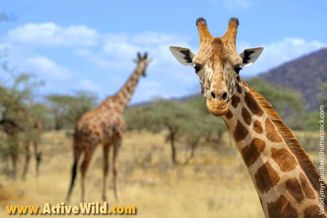 African Animals List, With Pictures, Facts, Information & Worksheet
