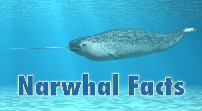 Narwhal Facts