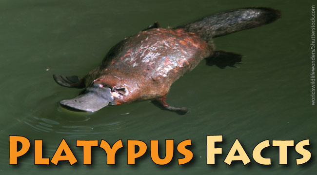 Platypus Facts For Kids