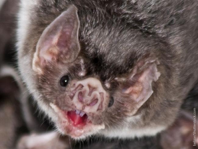 Vampire-Bat-Fangs