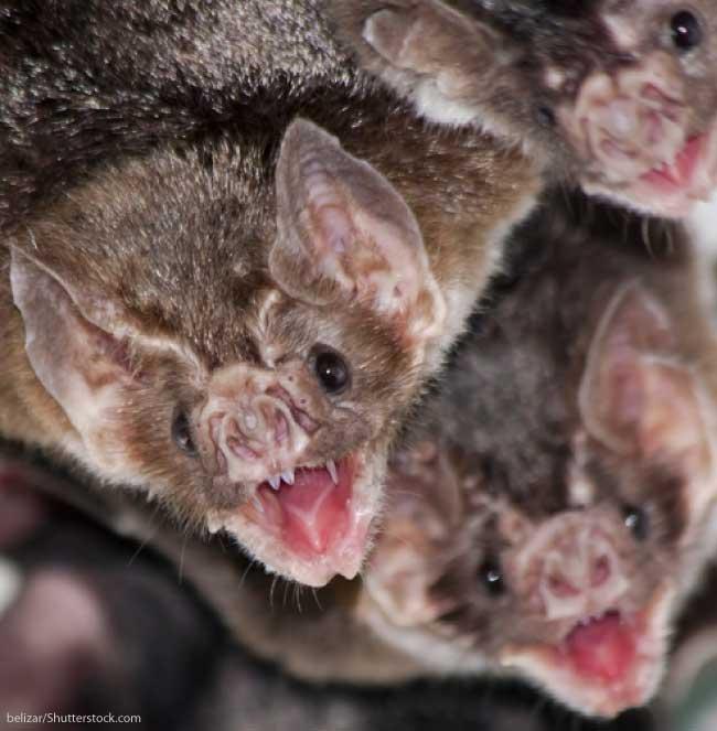 Vampire Bats Share Food