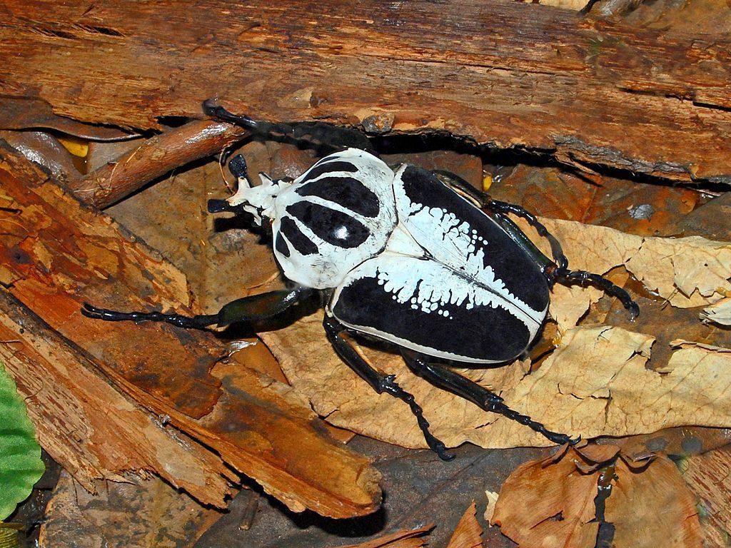 Royal goliath beetle