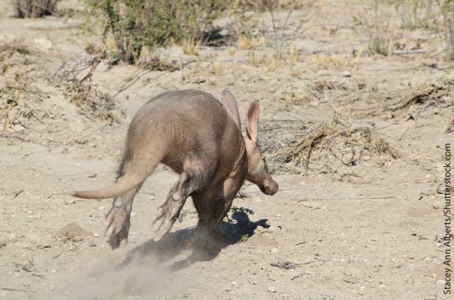 Aardvark Running