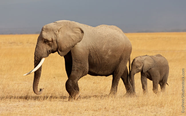 African Elephant With Baby