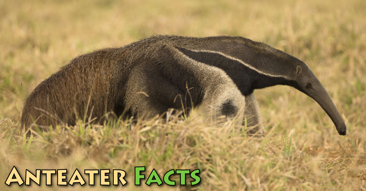 Anteater Facts Amp Information For Kids With Pictures Amp Video