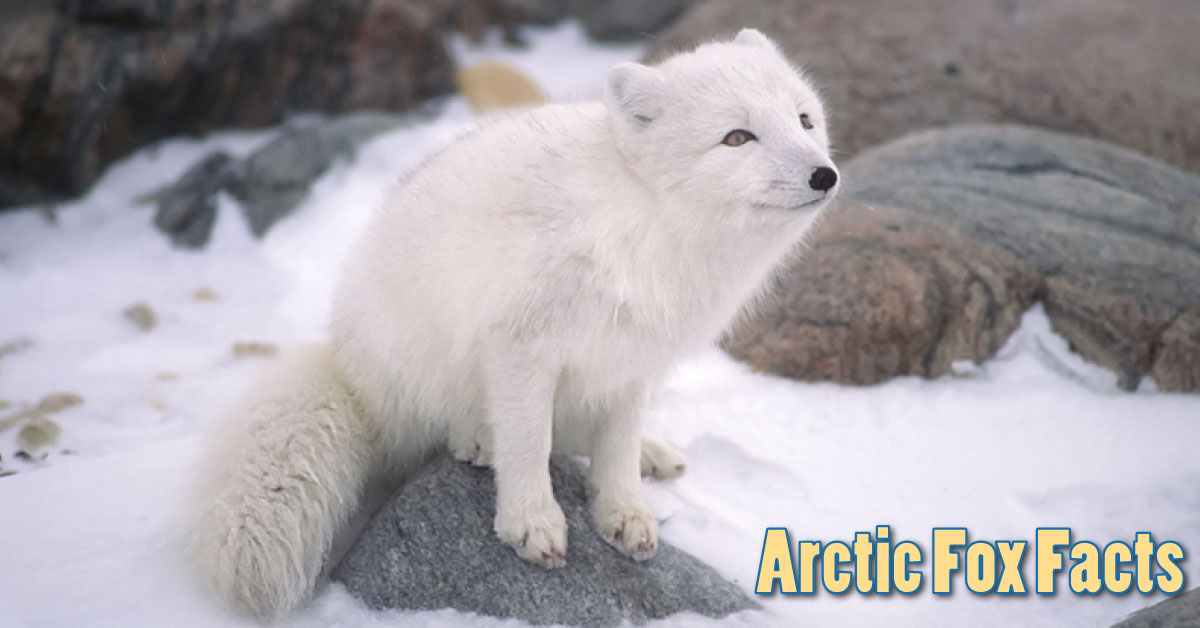 Arctic Fox Facts Amp Information For Kids Habitat Amp Adaptations
