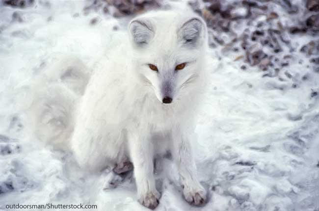Arctic Fox Facts & Information For Kids. Habitat & Adaptations