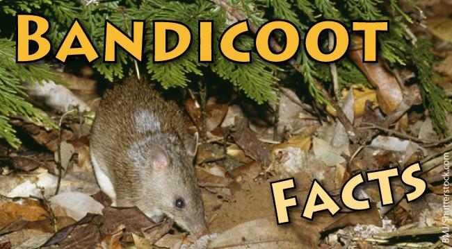 Bandicoot Facts