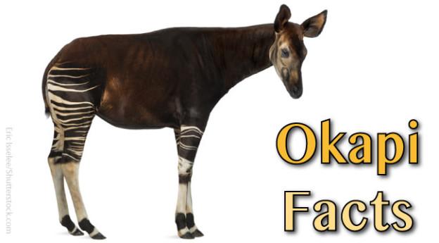 Okapi diet - photo#20