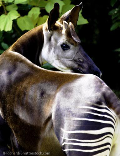 Okapi In Its Rainforest Habitat