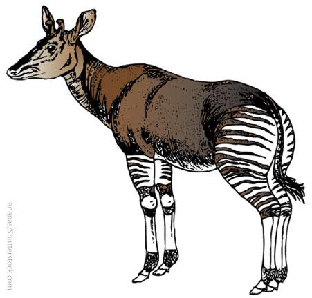 The okapi's strange markings actually provide camouflage in the rainforest.