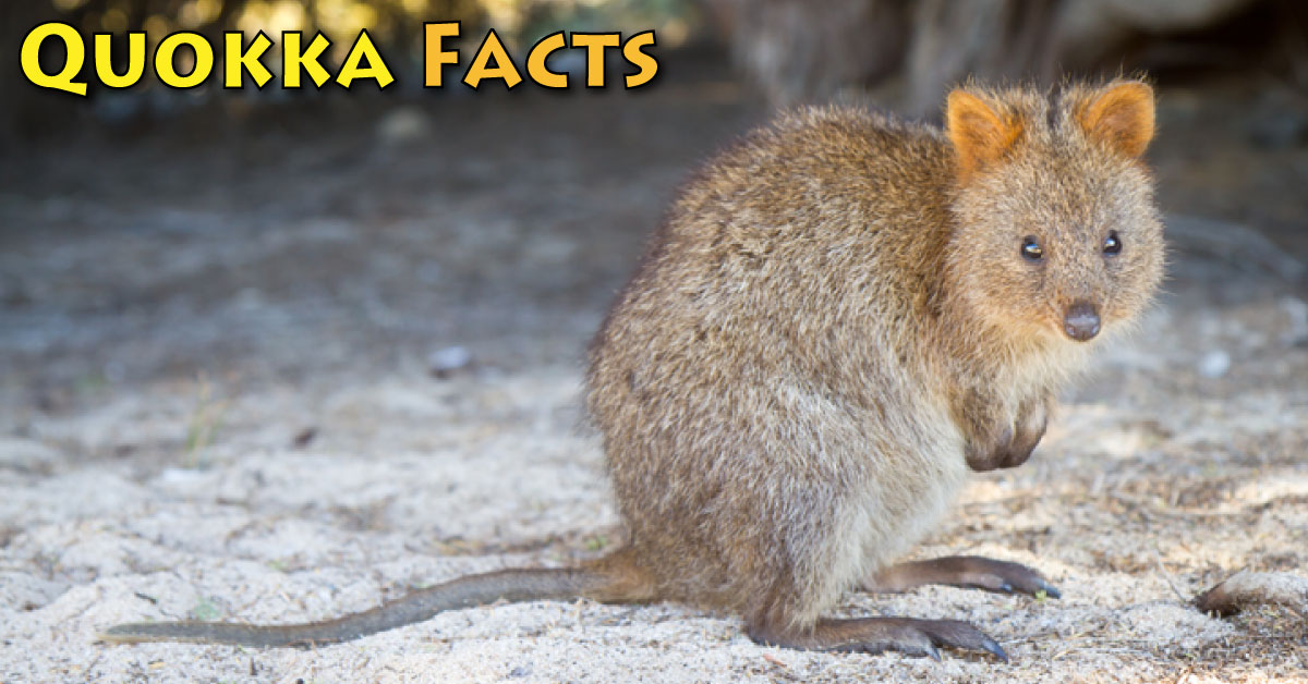 Quokka Facts, Pictures & Information. Learn About The ...