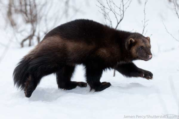 Arctic Animals List Wolverine