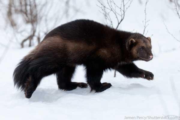 Arctic Animals List Wolverine