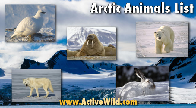 arctic animals list with pictures  facts  u0026 information