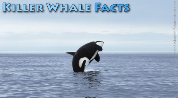 Killer Whale Facts For Kids: Orca Information u0026 Pictures