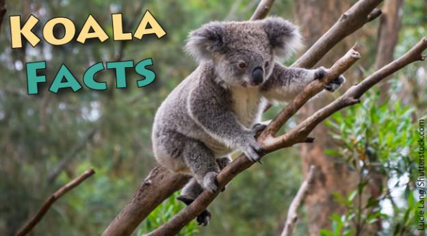 Koala Facts For Kids Com
