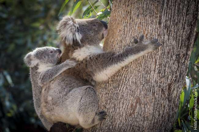 Koala Fun Facts For Kids - Info
