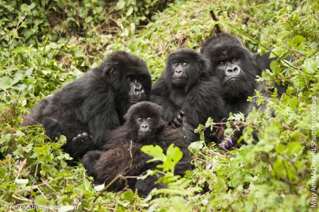 Mountain gorillas in East African rainforest