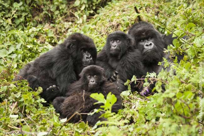 Mountain Gorilla Troop