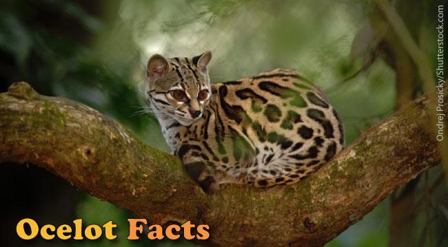 & Ocelot Facts For Kids: Information Pictures u0026 Video.
