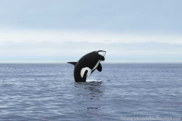 Orca in Southern Ocean