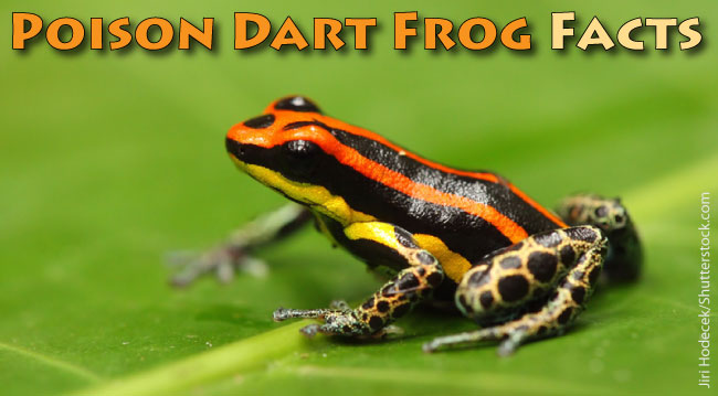 Poison Dart Frog Facts For Kids - Active Wild